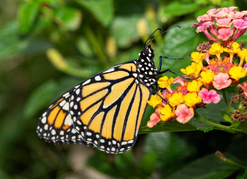 Sidosikt av en monarkfjäril som vilar uppe på en Lantanablomma royaltyfri foto