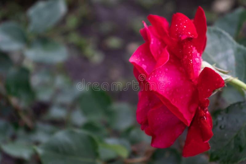 Sidosikt av en röd rosa blomma med droppar av dagg arkivbilder