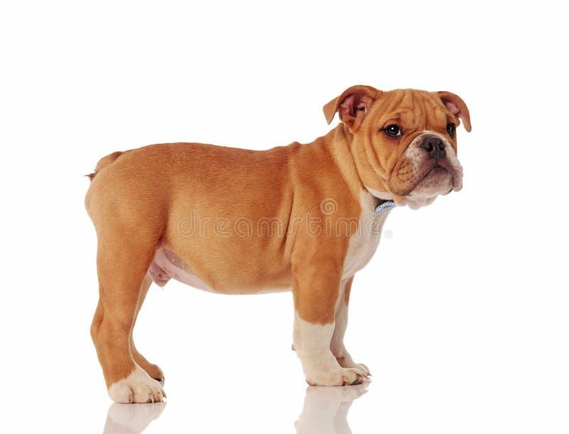 Sidosikt av för bulldoggvalp för gentleman det engelska anseendet fotografering för bildbyråer