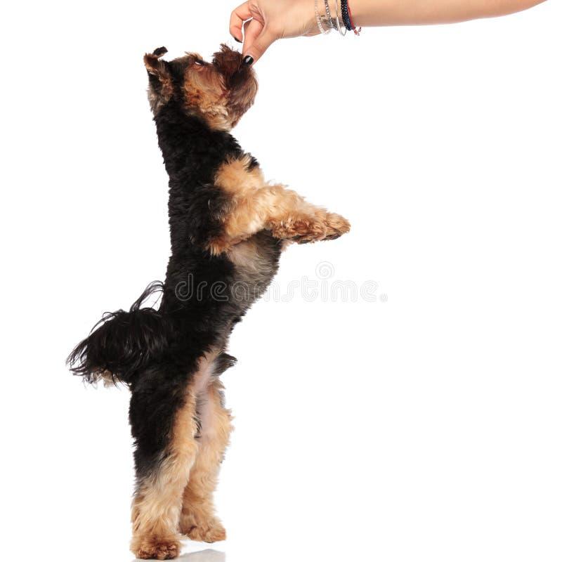 Sidosikt av handen som daltar den yorkshire terriern på tillbaka ben arkivbilder