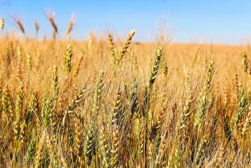 Sidosikt av kornhuvud mot en blå himmel fotografering för bildbyråer
