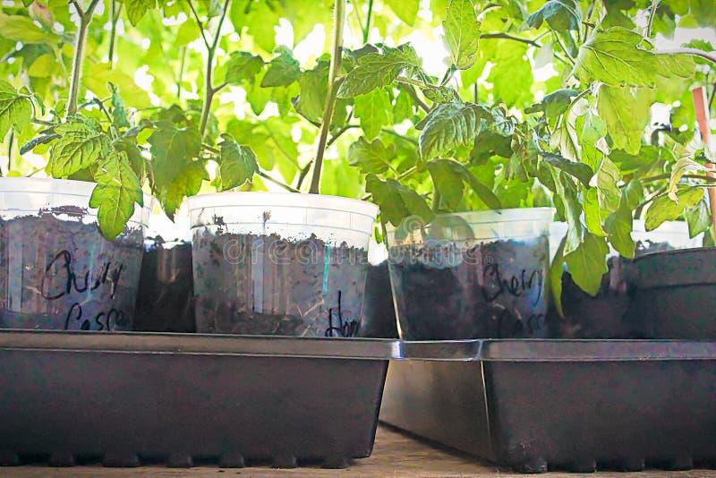 Sidosikt av krukor av tomater på våren som är klara att planteras royaltyfri fotografi
