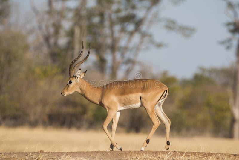 Sidosikt av manligt gå för impala fotografering för bildbyråer