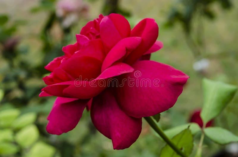 Sidosikt av rött hybrid- te Rose Bloom royaltyfri foto