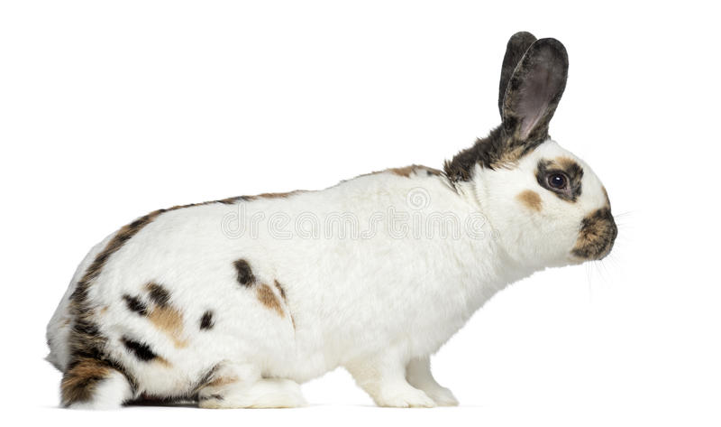 Sidosikt av rutig kanin arkivfoton