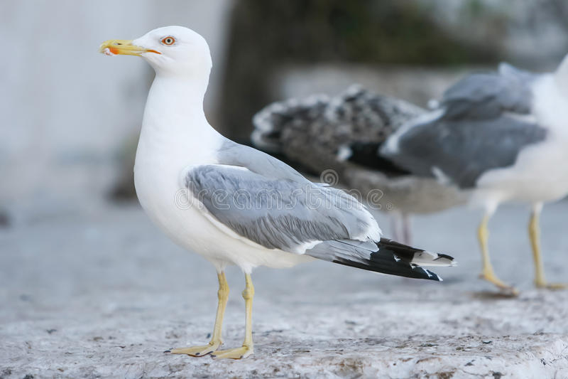 Sidosikt av seagullen på betong royaltyfria foton
