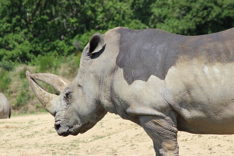 Sidosikt för vit noshörning royaltyfri bild