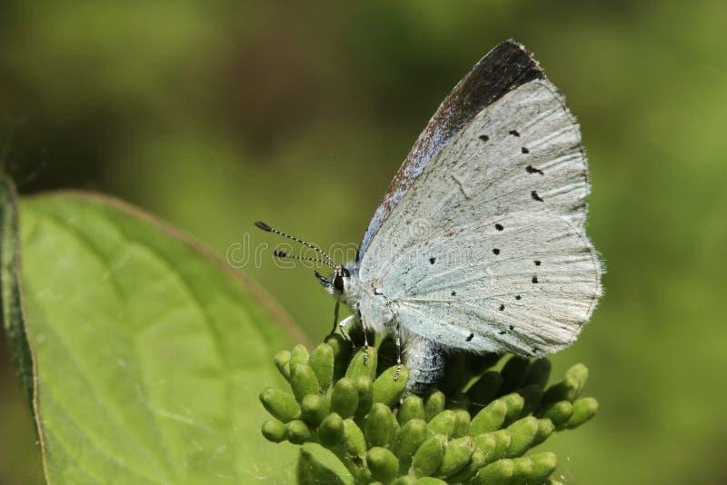 Sidosikten av en Holly Blue Butterfly, Celastrina argiolus som sätta sig på en växt som lägger ägg arkivfoto