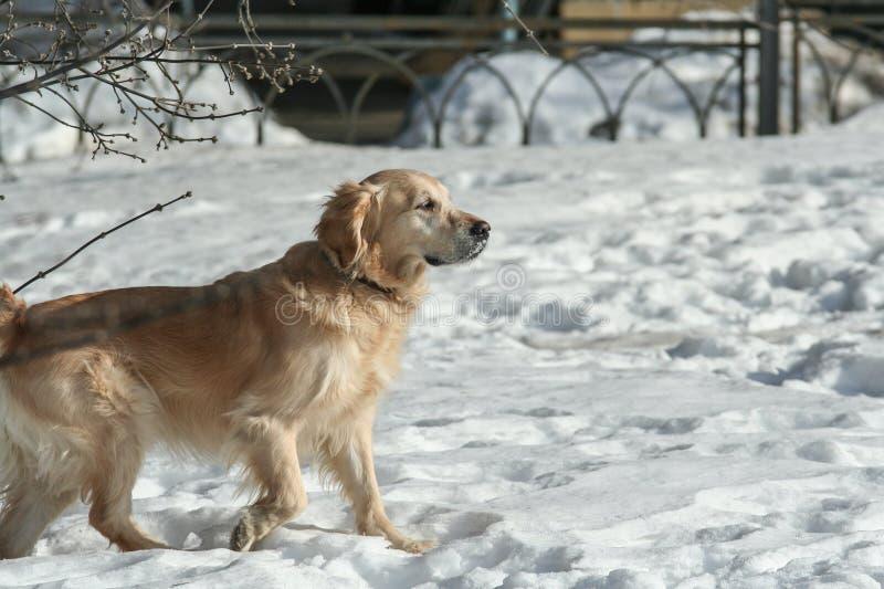 Sidosikten av härliga labrador som kör och spelar i snön, parkerar Husdjur i staden arkivfoto