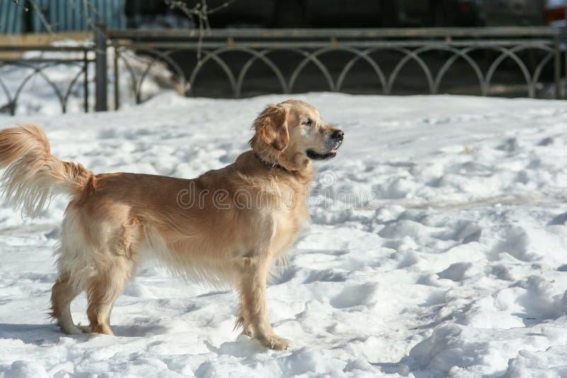 Sidosikten av h?rliga labrador som k?r och spelar i sn?n, parkerar Husdjur i staden royaltyfri bild