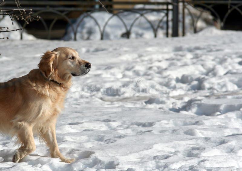 Sidosikten av h?rliga labrador som k?r och spelar i sn?n, parkerar Husdjur i staden royaltyfri foto