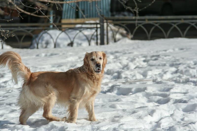 Sidosikten av h?rliga labrador som k?r och spelar i sn?n, parkerar Husdjur i staden royaltyfria foton