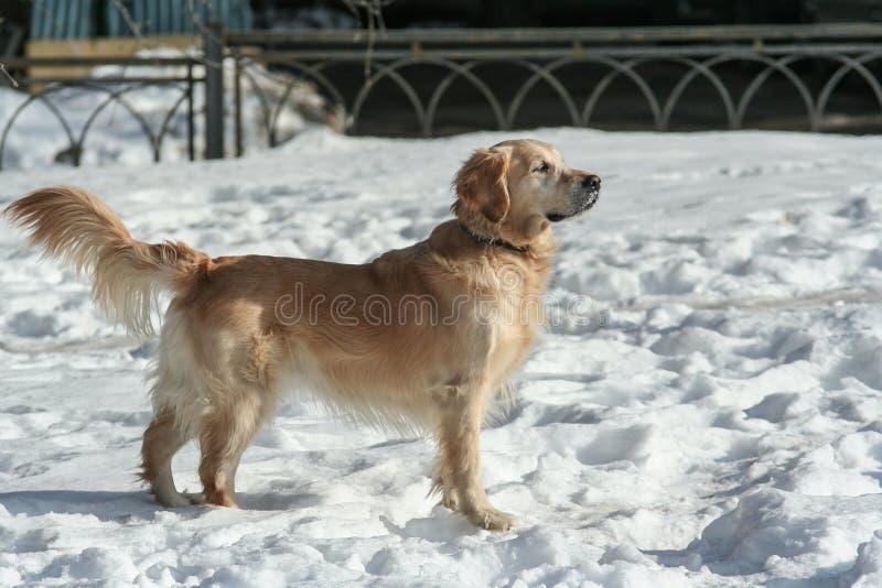 Sidosikten av h?rliga labrador som k?r och spelar i sn?n, parkerar Husdjur i staden royaltyfria bilder