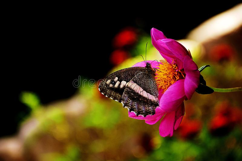 Sidro della farfalla su un fiore fotografie stock