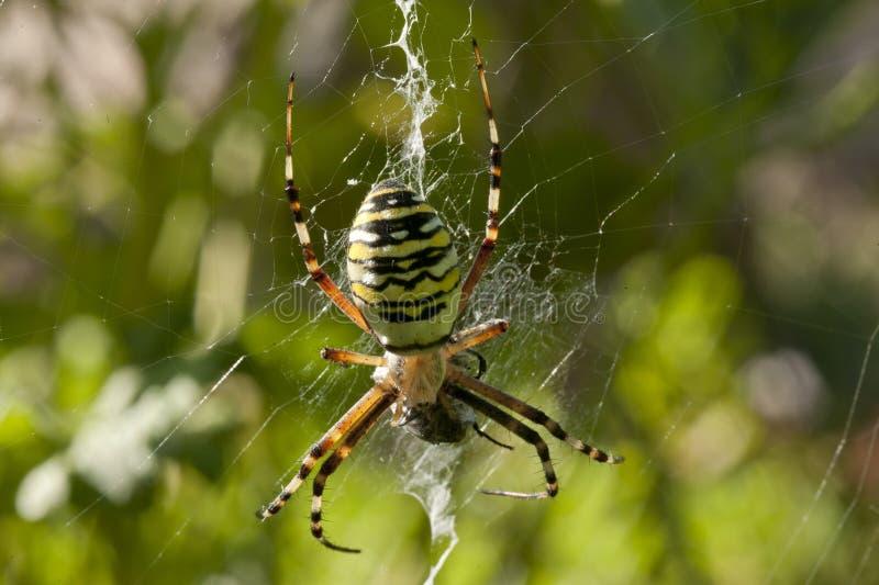 sieć pająka ilustracyjna wektora fotografia stock