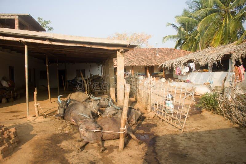Sie lebendig! Indische Ochsen schlafen in den sehr merkwürdigen Haltungen stockfotografie