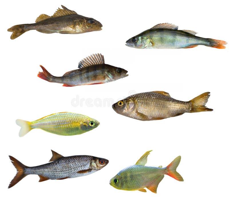 Sieben getrennte Fische stockfoto