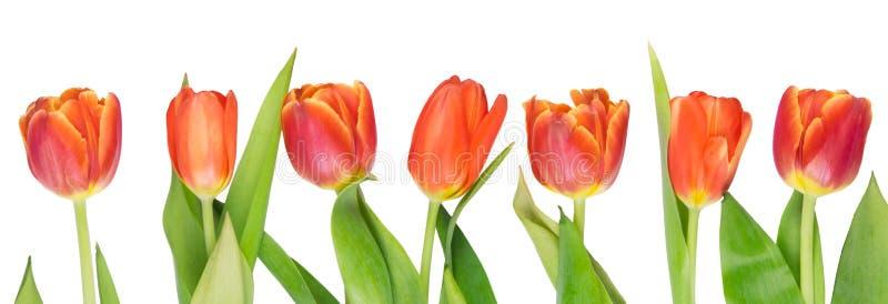 Sieben rote Tulpen wachsen gerade, gegen Weiß heran stockbild