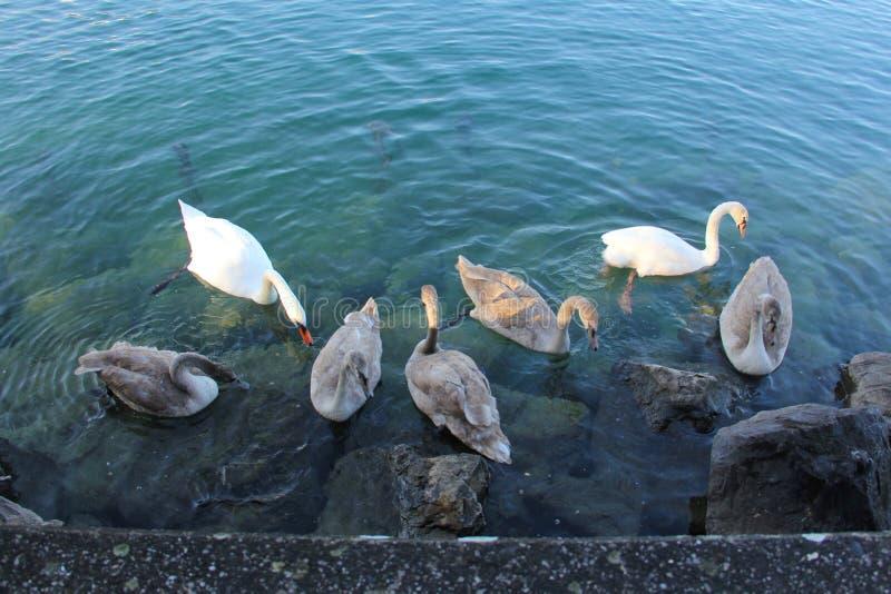 Sieben Schwäne eine Schwimmen lizenzfreies stockfoto