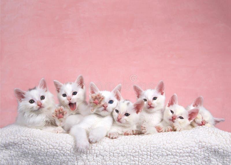 Sieben weiße Kätzchen in Bett, eins, das heraus zum Zuschauer erreicht stockfotografie