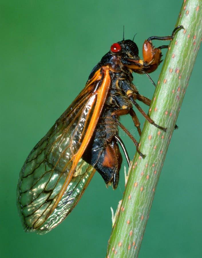 Siebzehn-jährige Zikade, die seine Eier einspritzt lizenzfreies stockfoto