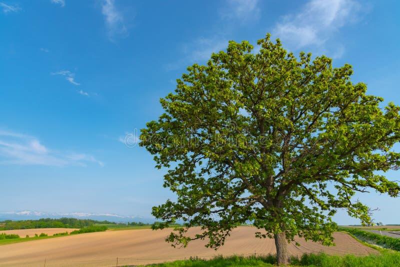 Siedem gwiazd drzewo, Ja drukował na pakunku Siedem gwiazd tytoń (sławny Japoński papieros) Sławny punkt w Biei miasteczku fotografia royalty free