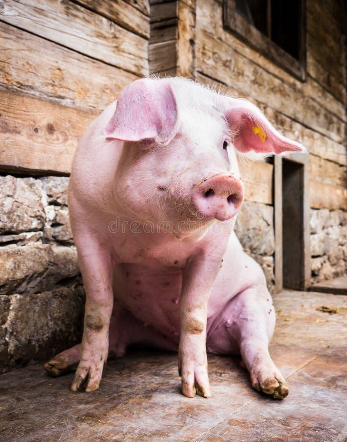 Siedząca świnia fotografia royalty free