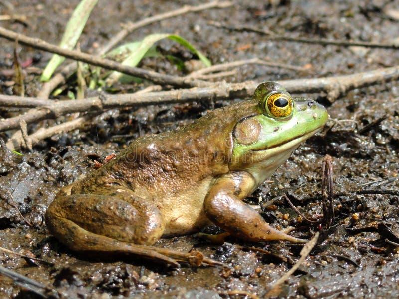 Siedząca żaba fotografia royalty free