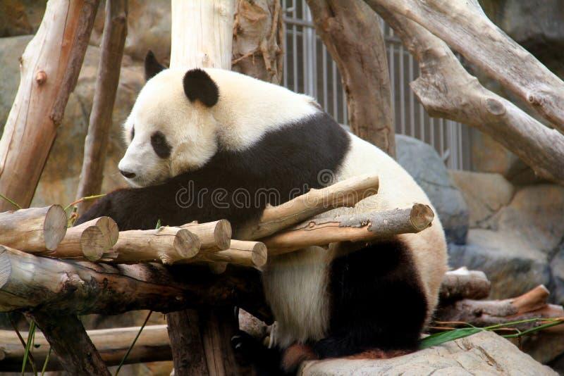 Siedząca panda obraz royalty free