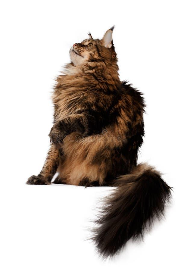 Siedzący Maine coon kota bocznego widok odizolowywającego fotografia stock