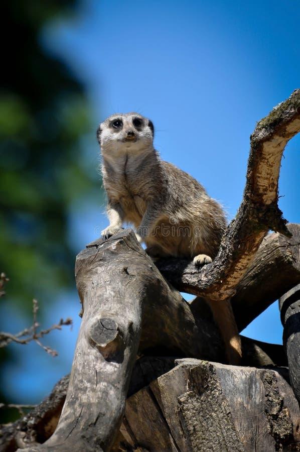 siedzący meerkat drzewo zdjęcia royalty free