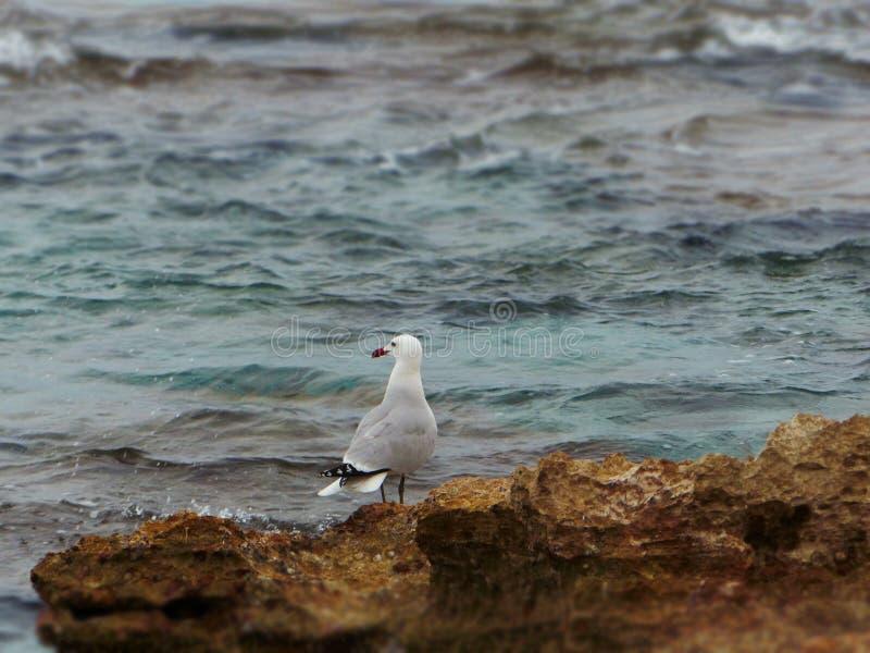 Siedzący seagull fotografia royalty free