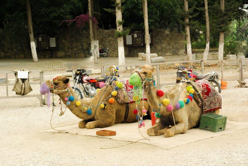 Siedzący wielbłądy z kolorowymi dekoracjami fotografia stock