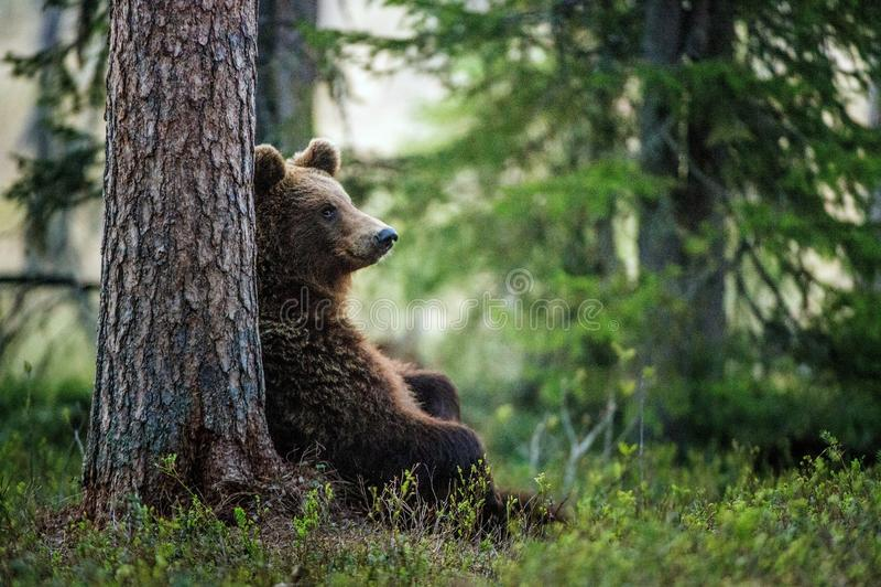 Siedzieć pod sosnowym Brown niedźwiedziem obrazy stock