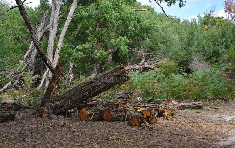 Siekający drzewo i loguje się suchej ziemi ziemię obrazy royalty free