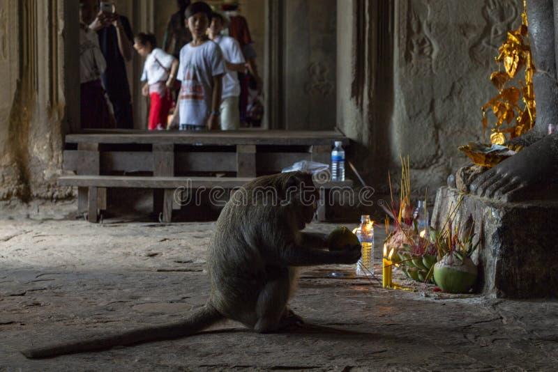 Siem Reap, Cambodge - 14 avril 2018 : offre divine de consommation de singe dans l'autel bouddhiste Le singe mange du fruit tropi photos stock