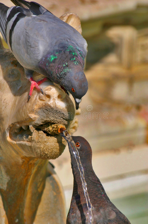 Pigeons Drinking From A Lion Fountain In Siena Italy Royalty Free Stock Images