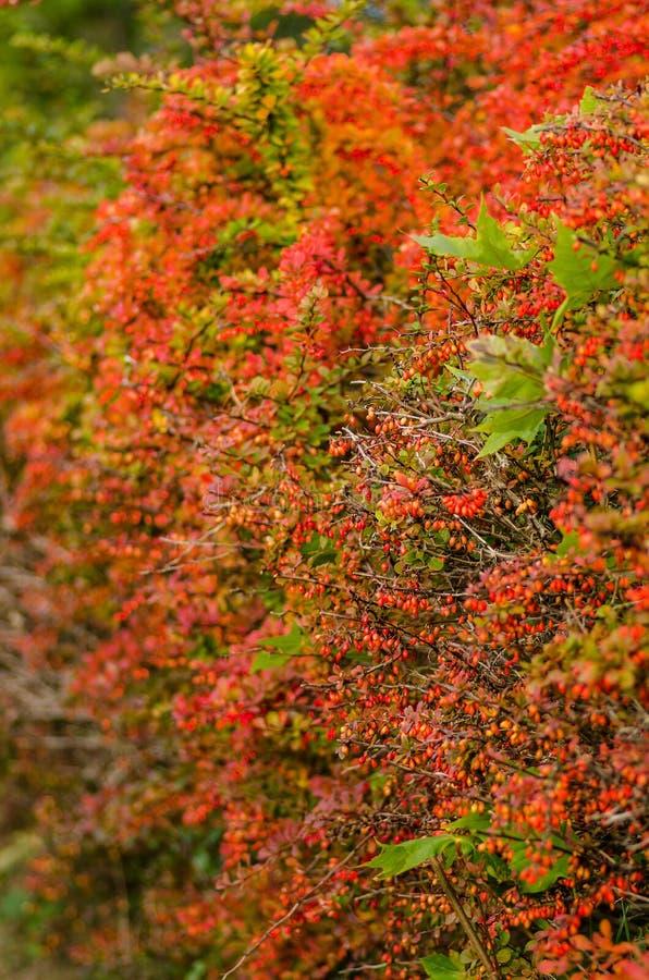 Siepe di arbusti del crespino colorata autunno immagini for Arbusti da siepe