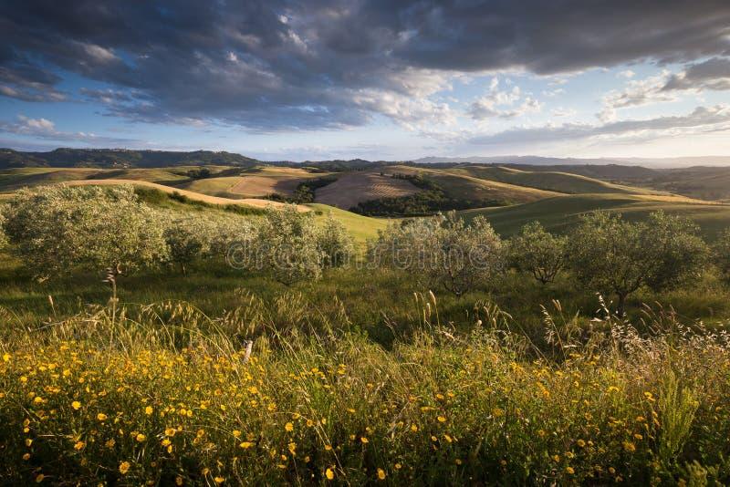 Siepe di arbusti dorata fotografia stock libera da diritti