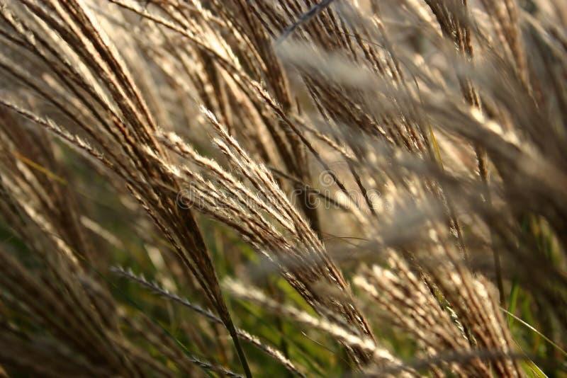 Sier Grasdetail Stock Foto