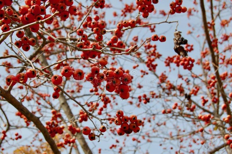 Sierappel Malus SP oranje vruchten zonder bladeren in de winter stock afbeeldingen