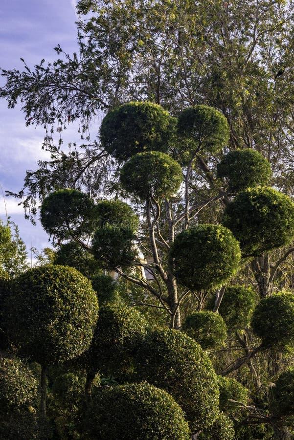 Sierbomen, aard, groene, decoratieve bomen stock fotografie