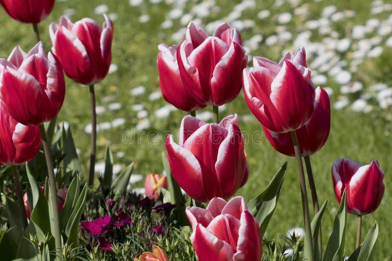 Siergesneriana van Tulipa van tulpenbloemen royalty-vrije stock afbeeldingen