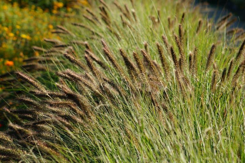 Siergras - Pennisetum alopecuroides royalty-vrije stock foto