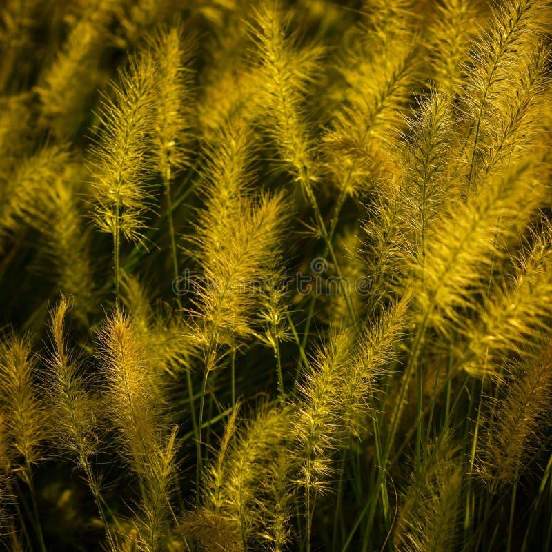 Sierlandschapsgras stock afbeelding