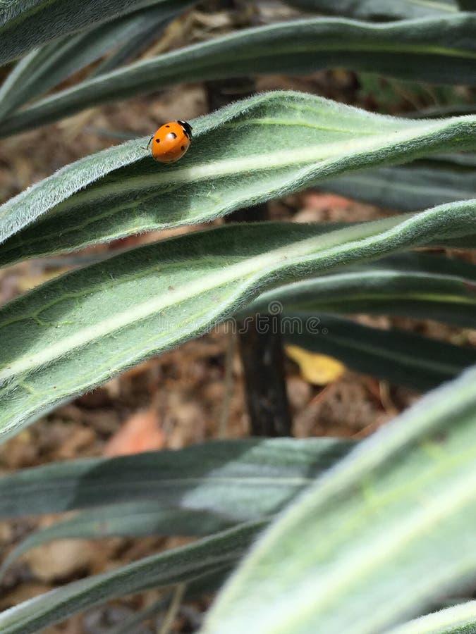 Sierlijk lieveheersbeestje stock foto