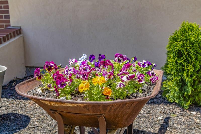 Sierlijke kleurrijke bloemen die op een oude kruiwagen groeien die met roest behandeld is stock fotografie