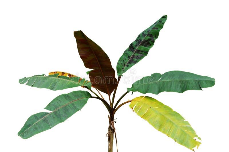 Siermusa tropische het gebladerteinstallatie van de banaanboom met veelkleurige geschakeerde die bladeren op witte achtergrond, h stock afbeeldingen