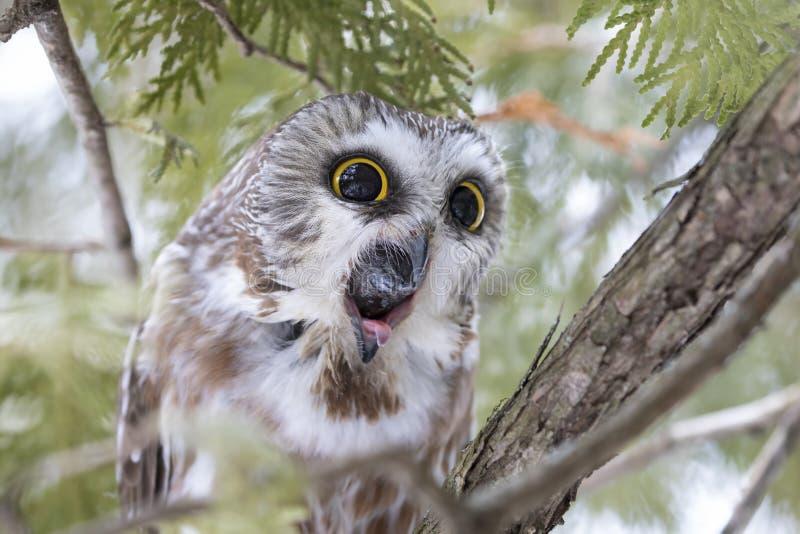 Sierra-amole el búho que tose para arriba una pelotilla en un árbol de cedro en Canadá imagen de archivo libre de regalías