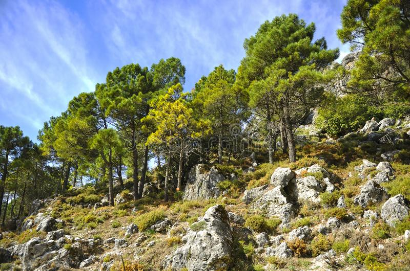 Pine forest in Sierra de Grazalema Natural Park, province of Cádiz, Spain royalty free stock photography